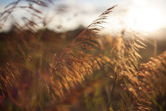 Grass on the light. Before sunset stock images