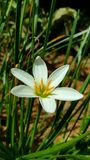 Delicate white Grass lily Stock Image