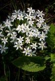 Grass lily Ornithogalum Umbellatum Star of Bethlehem Royalty Free Stock Photography