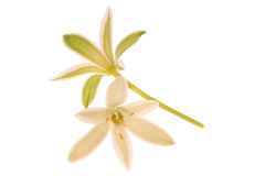 Grass lily Royalty Free Stock Photos