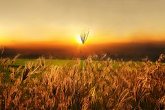 Grass lily on sunset background Stock Images