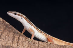 Grass lizard. The grass lizard, Takydromus sexlineatus ocellatus,is an arboreal, diurnal species of lizard. The tail length is usually over three times the body Stock Images