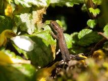 Grass Lizard Stock Photo