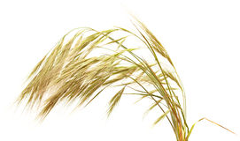 Grass with long Awns  isolated on white Stock Images