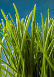 Grass macro natural background Stock Photography