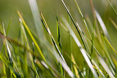 Grass Macro V1. Close up green grass copy space Royalty Free Stock Photography