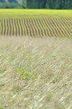 Grass and maize fields Royalty Free Stock Photos