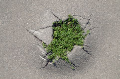 Grass making a way through a crack of asphalt. Outdoor shot royalty free stock images