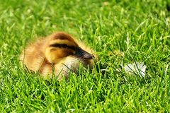 Grass, Mammal, Wildlife, Fauna Royalty Free Stock Photo