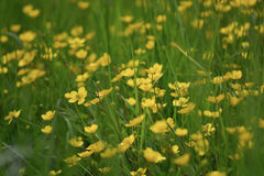 Grass and many yellow flowers in a park. Grass and many yellow flowers Royalty Free Stock Images