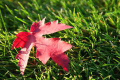 Grass and maple leaf . Stock Photo