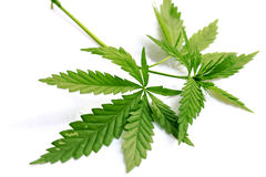 Grass marijuana cannabis Stock Image
