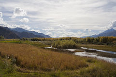Grass, marsh and golden poplar trees Royalty Free Stock Image