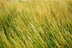 Grass in the meadow. Field of grass bent by neto Royalty Free Stock Photo