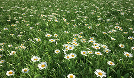 Grass meadow, bird eye view, plenty of daisy flowers. Stock Photo