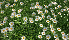 Grass meadow, bird eye view, plenty of daisy flowers. Stock Image