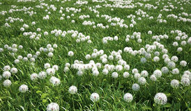 Grass meadow, bird eye view, plenty of dandelion flowers. Royalty Free Stock Images