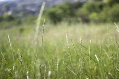 Grass on a meadow. Grass cones on a green meadow in the sunny summer day Royalty Free Stock Image