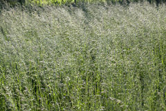 Grass on a meadow Royalty Free Stock Photos