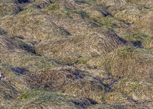 Grass on the meadow withered and bent to earth Stock Image