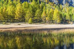Alpe devero autumnal mountain landscape. Grass meadows growing on a water pond with a nice mountain reflection and a larches trees forest in the background royalty free stock photography