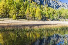 Alpe devero autumnal mountain landscape. Grass meadows growing on a water pond with a nice mountain reflection and a larches trees forest in the background royalty free stock photos