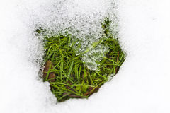 Grass in melting snow. Green grass revealed by melting snow Stock Image