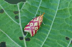 Grass-miner moth on leaf Royalty Free Stock Images