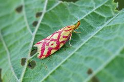 Grass-miner Moth On Leaf Stock Image
