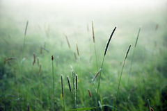 Grass in mist Royalty Free Stock Images