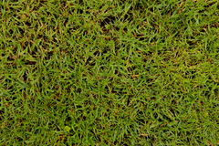 Grass and more grass. Grass with some green and also some grass Royalty Free Stock Photos