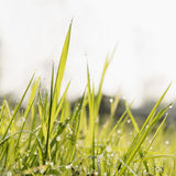 Grass in morning with beads Royalty Free Stock Photography
