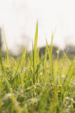 Grass in morning with beads Stock Image