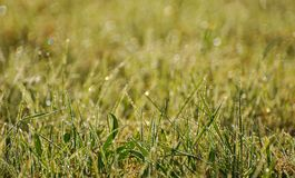 Grass and morning dew Stock Photography