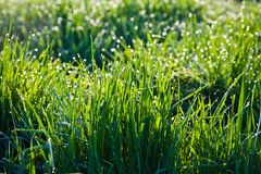 Grass in the morning with dew Stock Photography