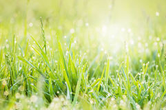 Grass morning dew Royalty Free Stock Photography