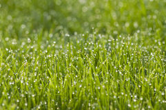 Grass with morning dew. Morning grass with drops of morning dew, with bokeh and green background Stock Photos