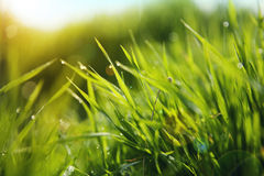Grass with Morning Dew Drops. Closeup. Soft Focus Royalty Free Stock Photography