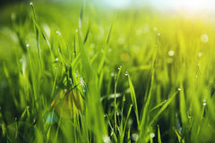Grass with Morning Dew Drops. Closeup. Soft Focus stock image
