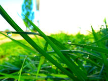 Grass with morning dew drops Stock Image