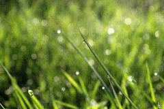 Grass with morning dew Royalty Free Stock Photos
