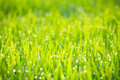 Grass with morning dew in sunshine abstract background - Series 3 Royalty Free Stock Images