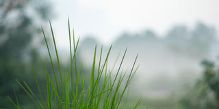 Grass in Morning Mist Royalty Free Stock Photography