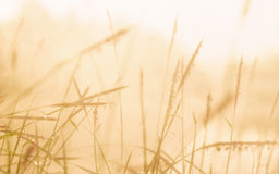 Grass in the morning. Selective focus grass in the morning with haze beside the reservoir Stock Photos