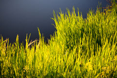 Grass in morning sunlight Stock Photos