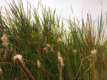 Grass in the morning. Tall grass in the morning along the way Royalty Free Stock Image