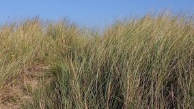 The grass moving on the seashore stock footage