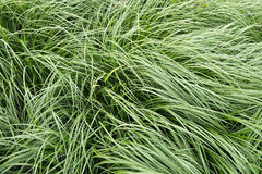 Grass is moving in the wind - abstract background.  Royalty Free Stock Photos
