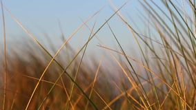 The grass moving in the wind in golden light tones stock video