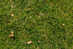 Grass and Mushrooms. Grass with some green and also some mushrooms Stock Photography